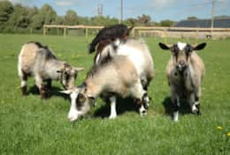 Goats-accommodation-f085b92dd6