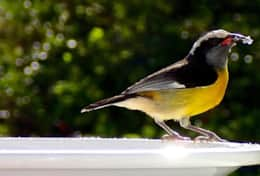 bananaquits love sugar