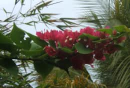 Bougainvillea on route to our beach