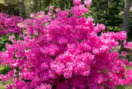 Wow! This azalea loves living here, too!