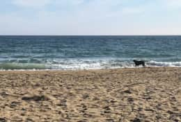 A friendly dog enjoys Hemmick beach. A  small dog is welcome at Seaforth.