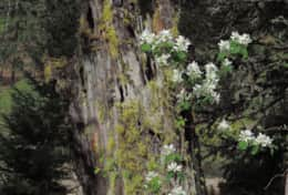 Rosa Sempervirens (White Evergreen Rose) Spring Wildflowers on a Snag