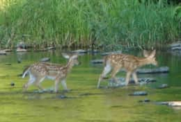 Twin Fawns