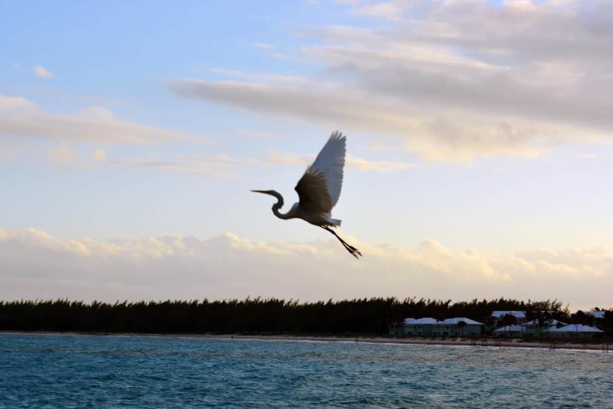 Bird in Flight Over Emerald Bay – Exuma