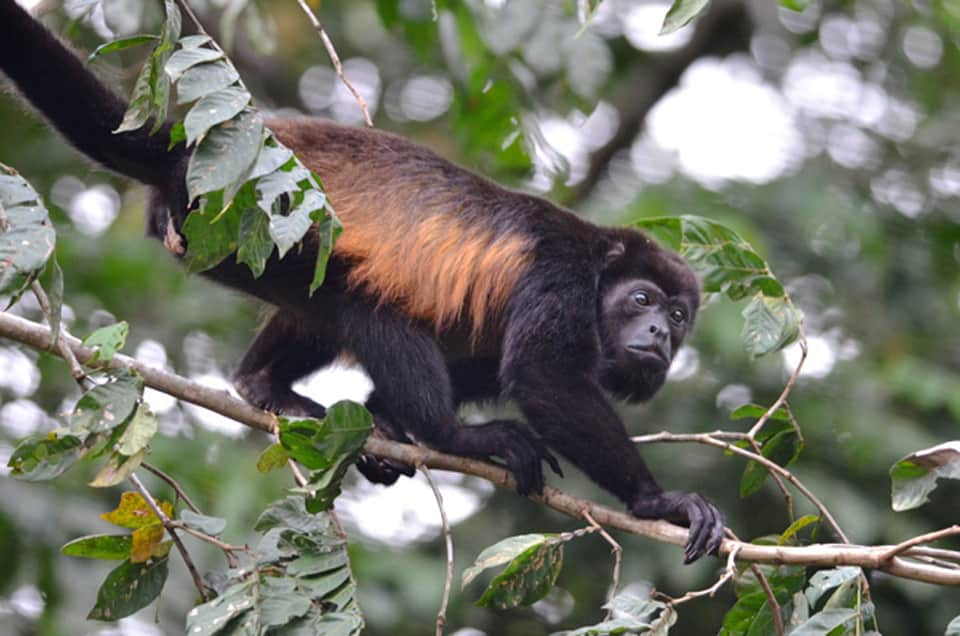 Female-Howler-Monkey