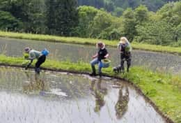 Shiho and family planting rice, hard but good work.