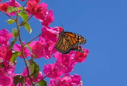 Monarch butterfly on bougainvillea