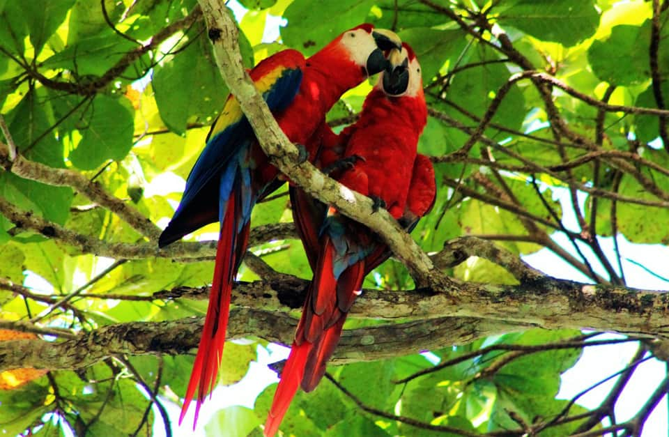two-macaws_orig 2