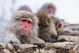 Snow Monkeys Japan - Kaizen Lodge Madarao