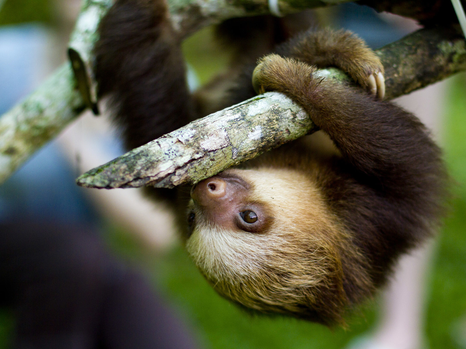Sloth on tree - surrounding area