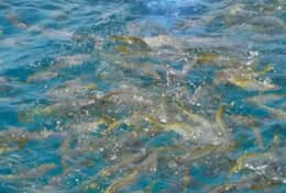 Looe Key reef snorkeling, see plenty of yellowtail fish! About 15 minute boat ride.