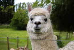 Edgar one of the Alpacas