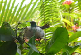 Humming bird in our garden