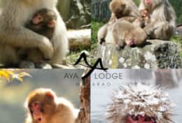 Madarao Snow Monkeys