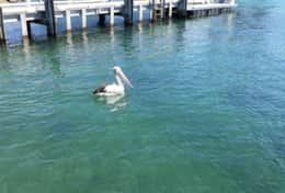 Pelicans at Kiama Harbour