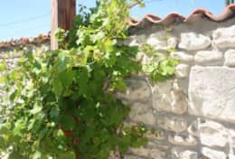 Merlot vine growing outside Jasmine