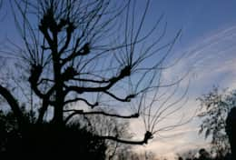 The winter silhouette of the catalpa.