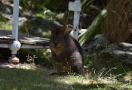 The Pademelon family live in the gardens are too cute
