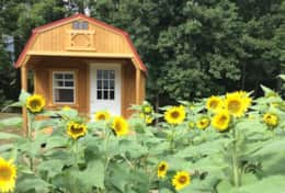 Sunflower gardens are located throughout