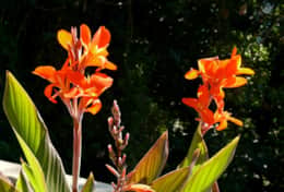 Cannas in midsummer