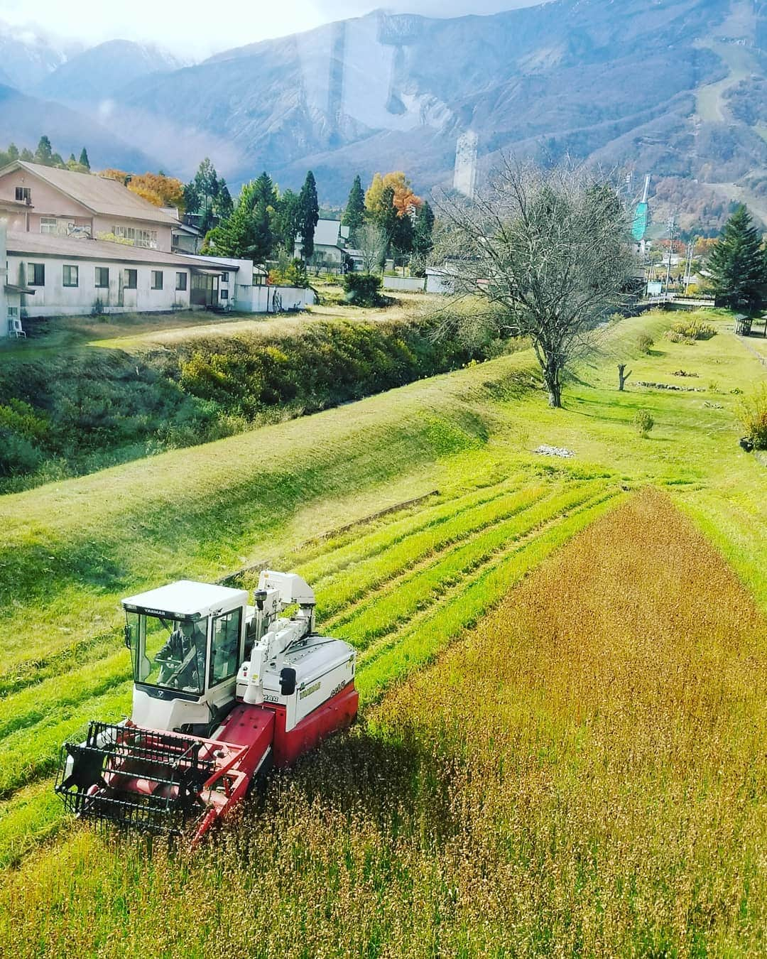 Soba harvesting in the Autumn, a stunning time to come visit.
