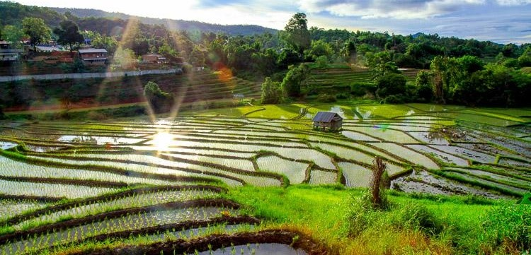 RICE FIELDS IN ISAN (NORTH EAST THAILAND)