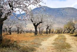 Almond trees as far as the eye can see at the Lecrin Valley.