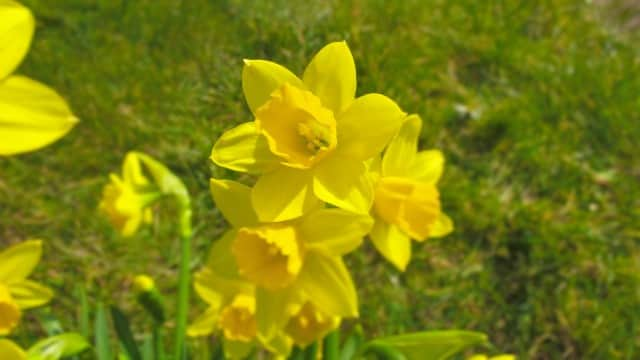 Our daffodils