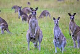 Kangaroos gather around the lake