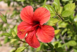 Red Hibiscus in Casa Alegre garden