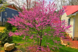 Redbud Tree brings lots of color to the springtime!