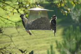 Hairy Woodpecker Pair