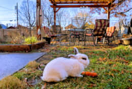 our bunny in the shared space in backyard
