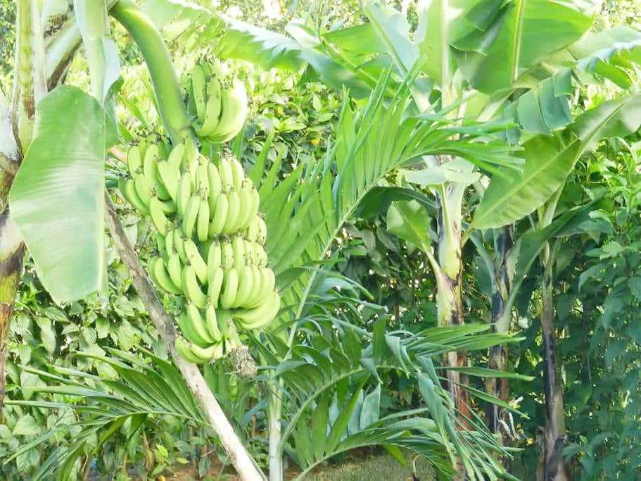 CC-P has several banana trees and many pineapple plants