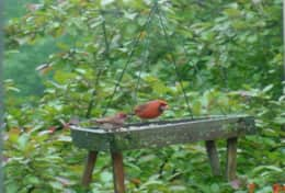 CARDINAL and  RED HOUSE  FINCH