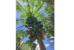 Our Papaya tree - one example of our gardens producing many tropical fruits