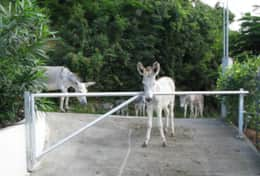 The islands donkeys dropping by for a visit.