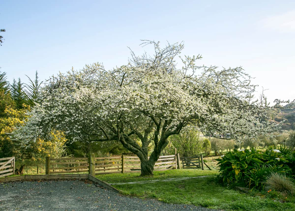 Plum Tree in full bloom.
