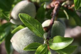 Almonds grow at Casa Alegre