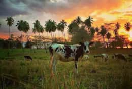 Cow-sunset at Tres Palmas