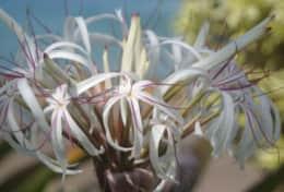 Crater Spider Lily