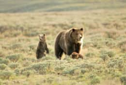 Grizzlies in Yellowstone