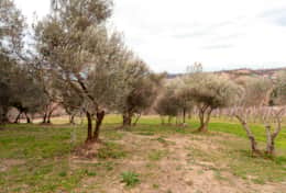 Part of the East Olive Grove