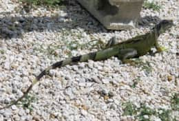 Meet our neighbor Iguana.