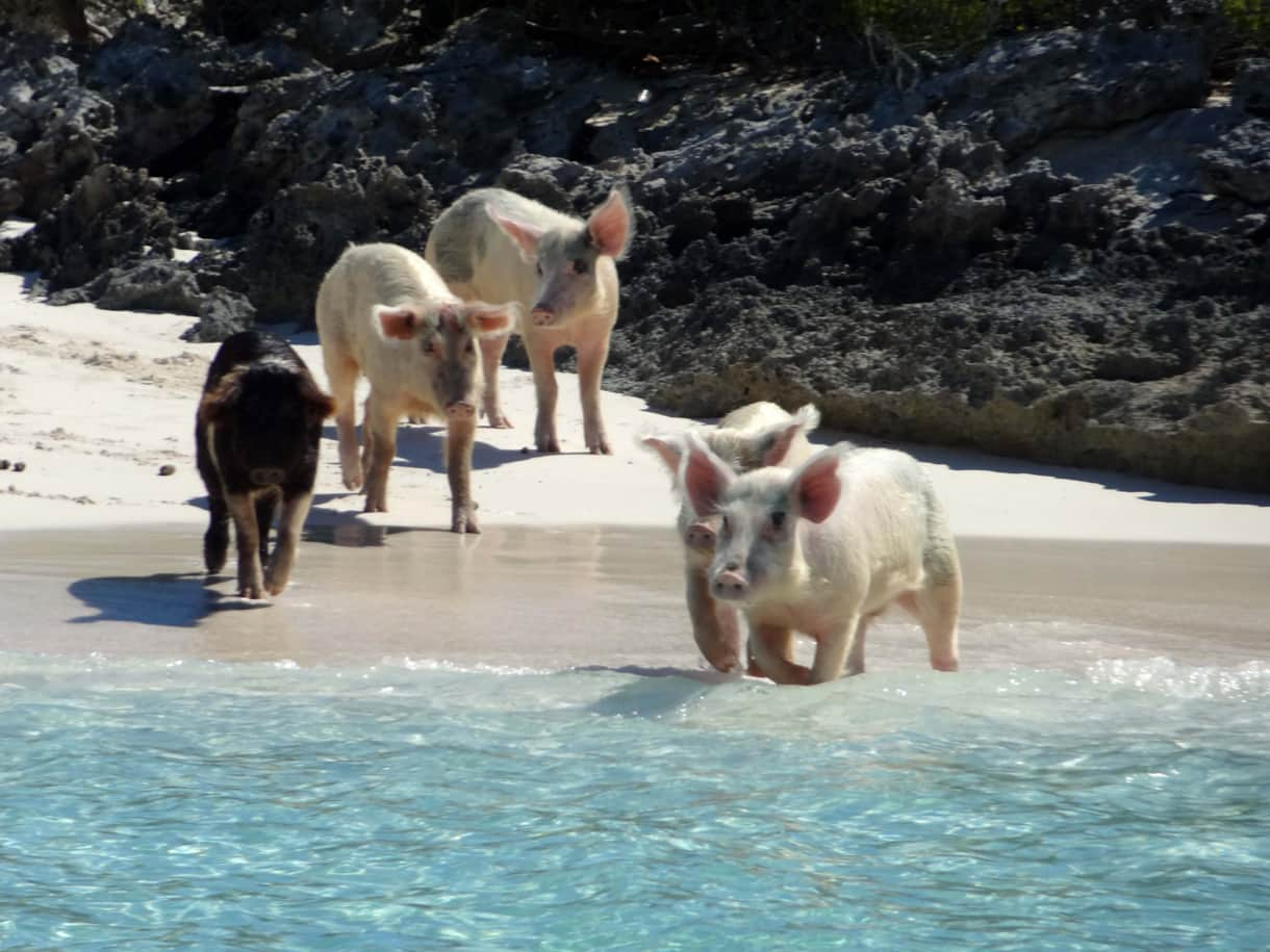Swimming Pig Family – Exuma