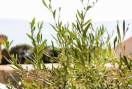 Vegetation Olives