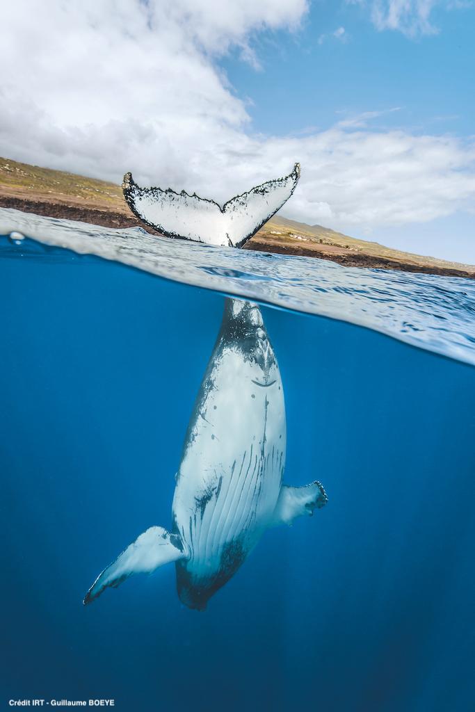 Baleine, cetacee, faune,